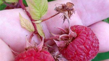 grow-raspberries-2