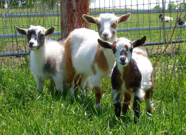 Best Goat Breeds For Your Homesteading Needs - Total Survival