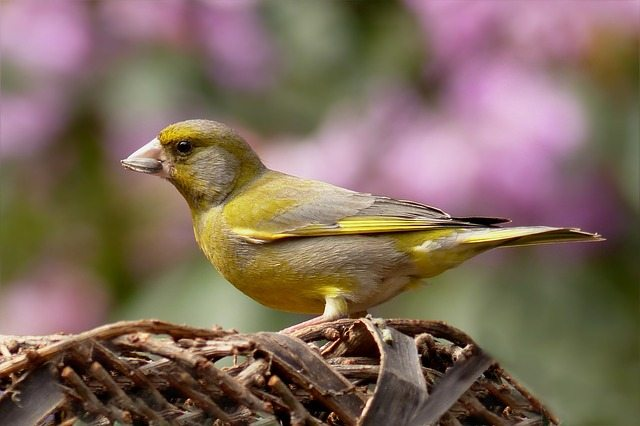 greenfinch-818185_640