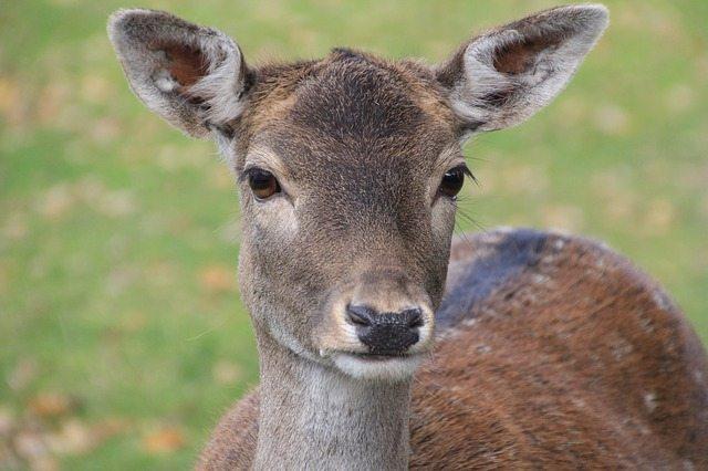 roe-deer-259272_640