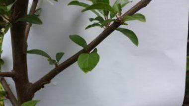 Secret-2-Choose-a-Cone-Shaped-Tree-350x197