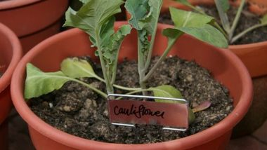 cauliflower-garden-flickr