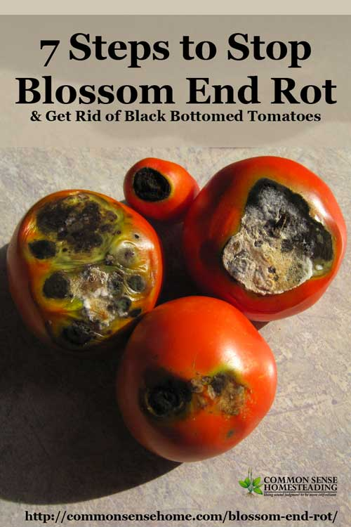 7 steps to stop blossom end rot  u0026 get rid of black