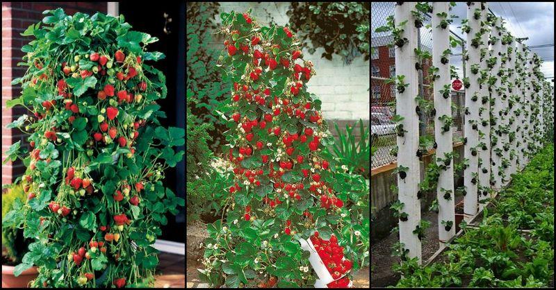 diy pvc vertical strawberry planter
