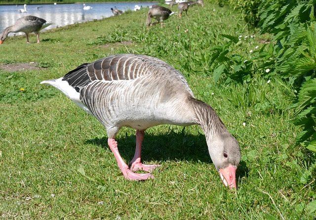 Wild geese essays