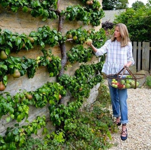 Espalier Garden Redux: The Art Of Espalier: Growing Fruit Trees In Small Spaces