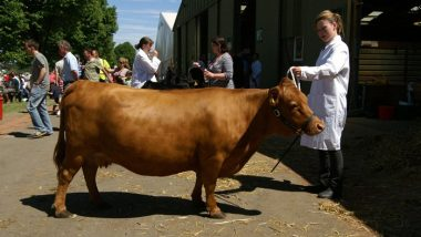 dexter-cow-wikipdia